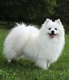 Toy-American-Eskimo-Dog