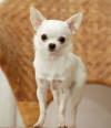 Chihuahua-2