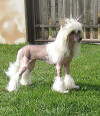 Chinese-Crested-2