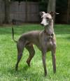 Italian-Greyhound-2