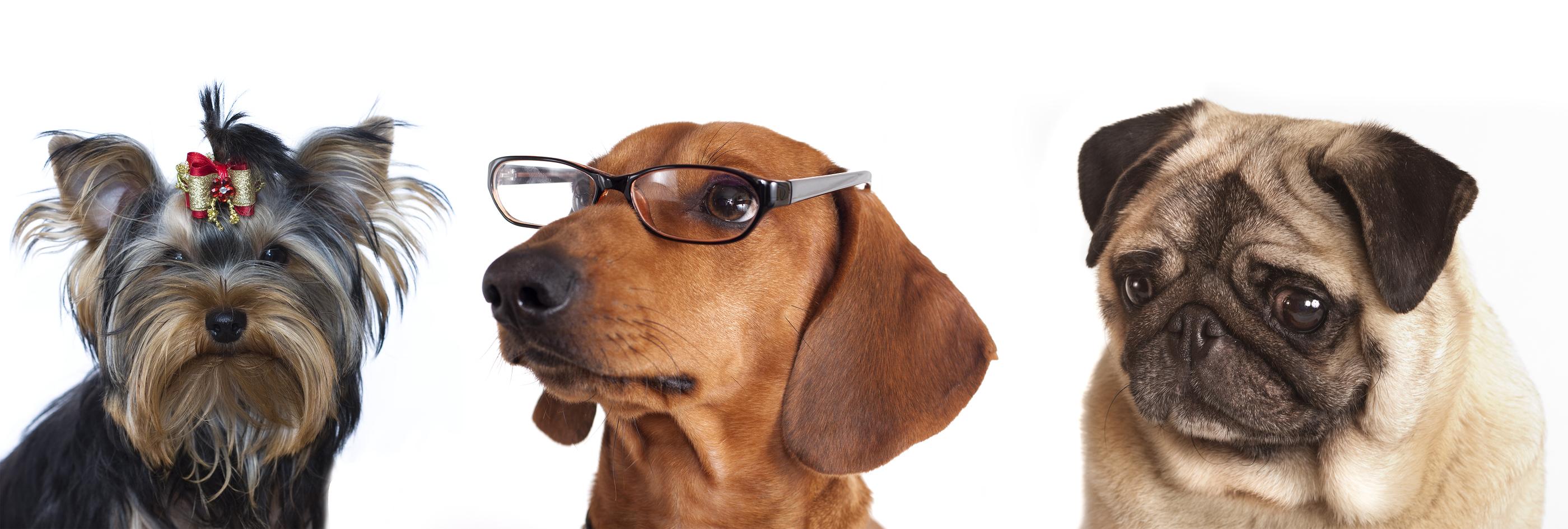bigstock-dog-Dachshund-in-glasses-clos-19453334